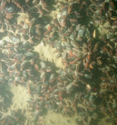 Mussel-habitat